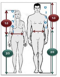 פרופורציות גוף